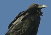 Grand-Corbeau